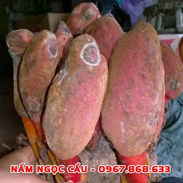 namngoccau1 - Nấm ngọc cẩu tươi
