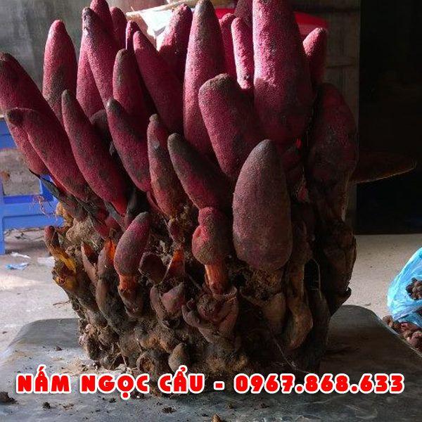 namngoccau7 - Nấm ngọc cẩu tươi