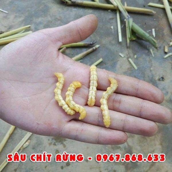 sauchit1 - Sâu chít khô