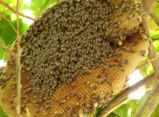 mat ong rung 2 - Cách chế biến, bảo quản sâu chít