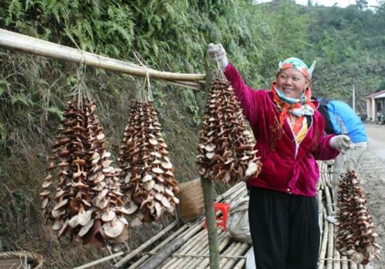 nam huong rung 1 - 7 loại rau đặc sản nổi tiếng ở Sapa