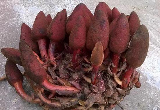 nam ngoc cau - Nấm hương rừng vùng cao Tây Bắc