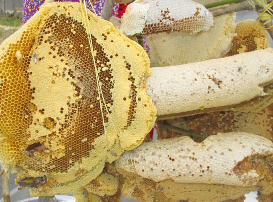 to ong rung1 - Tổ ong rừng