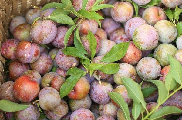 8 loai hoa qua dam chat nui rung o lao cai 7 - 8 loại hoa quả đậm chất núi rừng ở Lào Cai