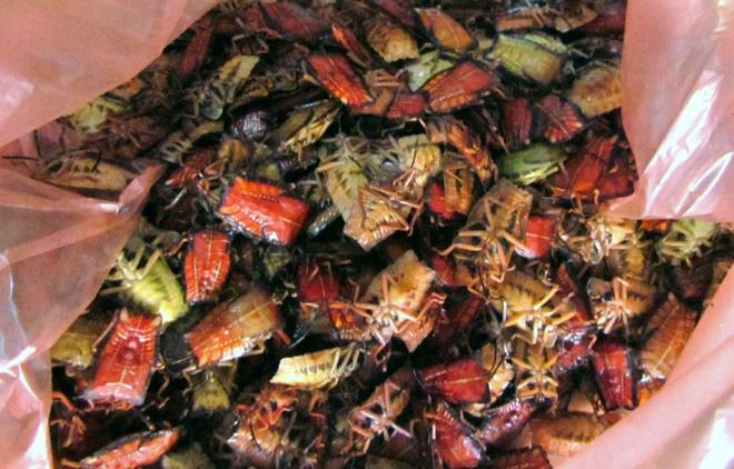 luu ban nhap tu dong 5 - Những  món ăn độc đáo từ côn trùng của người Yên Bái