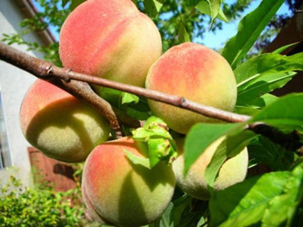 nhung trai cay dac san ai thay cung them o son la 2 - Những trái cây đặc sản ai thấy cũng thèm ở Sơn La