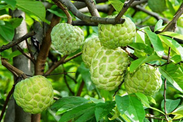 nhung trai cay dac san ai thay cung them o son la 4 - Những trái cây đặc sản ai thấy cũng thèm ở Sơn La