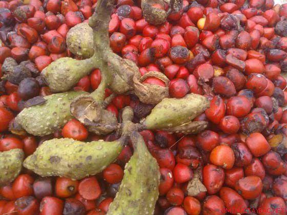 Hạt dổi tươi mới rụng có màu đỏ. (Ảnh: rungvangtaybac)