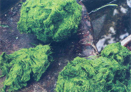 la lung mon reu da lai chau 1 - Lạ lùng món rêu đá Lai Châu