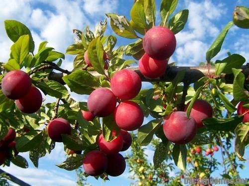 nhung trai cay dac san cua nui rung tay bac - Những trái cây đặc sản của núi rừng Tây Bắc
